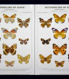 a4clearfile-nymphalidae