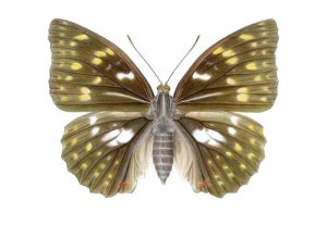 Sasakia charonda